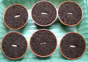 Картинки по запросу адениум семена